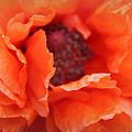 The Art Of Poppy by The Art Of Marilyn Ridoutt-Greene