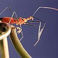 Garden Assassin Bug by Katrina Lau