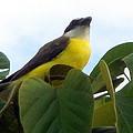 The Banaquit Of Costa Rica by Glenn Aker