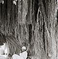 The Banyan Tree by Shaun Higson