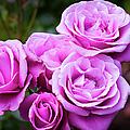The Barbara Streisand Rose by Brian Jannsen