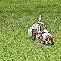 The Bassets by Louise Hill