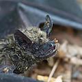 The Bat by Ernie Echols