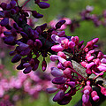 The Beautiful Redbud Tree by Michael Eingle