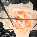 The Beautiful Rose by Alissa Hobaugh