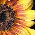 The Beautiful Sunflower by Scott Campbell