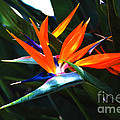 The Beauty Of A Bird Of Paradise by Susanne Van Hulst