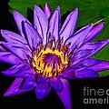 The Beauty Of A Water Liliy by Nick Zelinsky