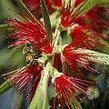 The Bee And Bottlebrush by Carolyn Marshall
