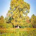 The Big Autumn Poplar by Alain De Maximy