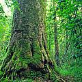 The Big Sycamore Tree by Thomas R Fletcher