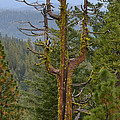 The Big Tree Fork by Michael Inscoe