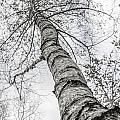 The Birch Tree by Hannes Cmarits