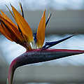 The Bird Of Paradise by Wanda J King