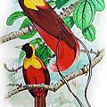 The Birds Of Paradise by Mayur Sharma