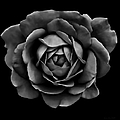The Black Rose Flower by Jennie Marie Schell
