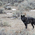 The Black Wolf by Deby Dixon