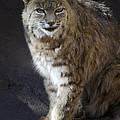 The Bobcat by Saija  Lehtonen