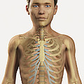 The Bones Within The Body Pre-adolescent by Science Picture Co