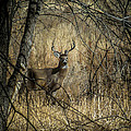 The Buck by Ernie Echols