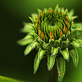 The Bud Is Prettier Than The Bloom by Kathy Clark