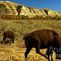 The Buffalo Dance by Adam Jewell