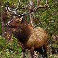 The Bull Elk by Steven Reed