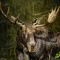 The Bull Moose by Belinda Greb