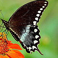 The Butterfly And The Zinnia by Karen Beasley