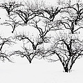 The Calligraphy Of Apple Trees In Winter by Jeff Rennicke