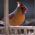 The Cardinal by Cindy Manero