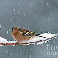 The Chaffinch by Torbjorn Swenelius
