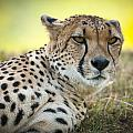 The Cheetah In Grass by Chad Davis