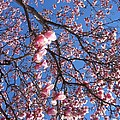 The Cherry Blossons by Shar Wolfe