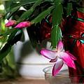 The Christmas Cactus by Jim  Darnall
