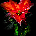 The Christmas Flower - Poinsettia by Gynt