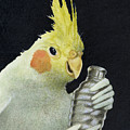 The Cockatiel Shaker... by Will Bullas