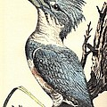 The Collared Kingfisher