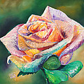 The Colors Of A Rose by Stephen Kenneth Hackley
