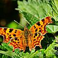The Comma -- Polygonia C-album by Susie Peek