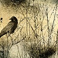 The Common Crow by Gothicrow Images
