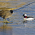 The Coot And The Bufflehead by Sharon Talson