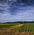 The Corn Fields Of Alabama by Kathy Clark
