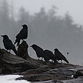 The Corvidae Family  by Cathie Douglas