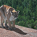 The Cougar 1 by Ernie Echols