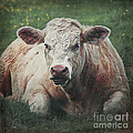 The Cow by Angela Doelling AD DESIGN Photo and PhotoArt