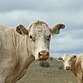 The Cows by Ernie Echols