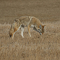 The Coyotes by Ernie Echols
