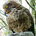 The Crafty Kea by Steve Taylor
