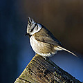 The Crested Tit In The Sun by Torbjorn Swenelius
